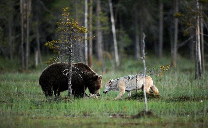 rara-amicizia-tra-animali-diversi-lupo-grigio-orso-bruno-lassi-rautia-07
