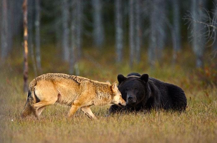 rara-amicizia-tra-animali-diversi-lupo-grigio-orso-bruno-lassi-rautia-08