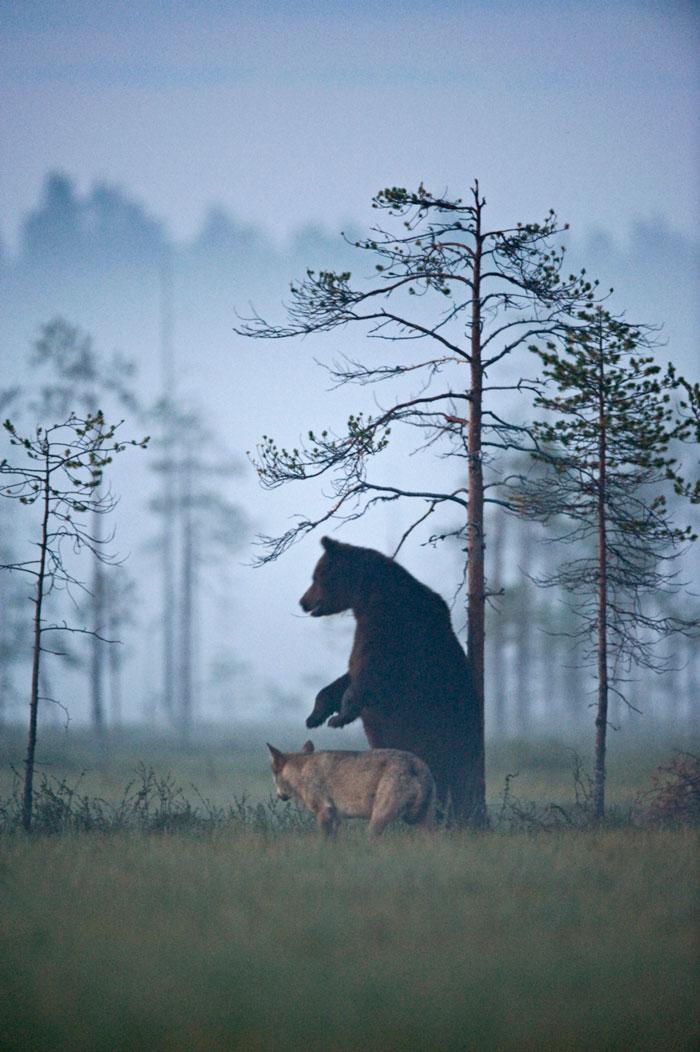rara-amicizia-tra-animali-diversi-lupo-grigio-orso-bruno-lassi-rautia-09