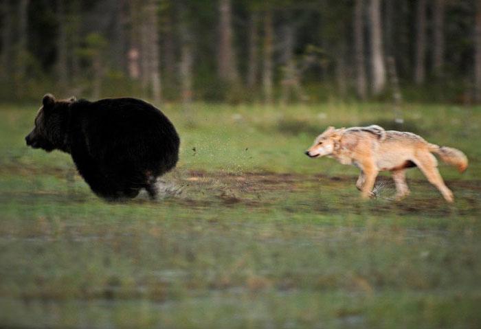 rara-amicizia-tra-animali-diversi-lupo-grigio-orso-bruno-lassi-rautia-10