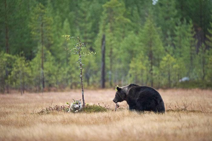 rara-amicizia-tra-animali-diversi-lupo-grigio-orso-bruno-lassi-rautia-11