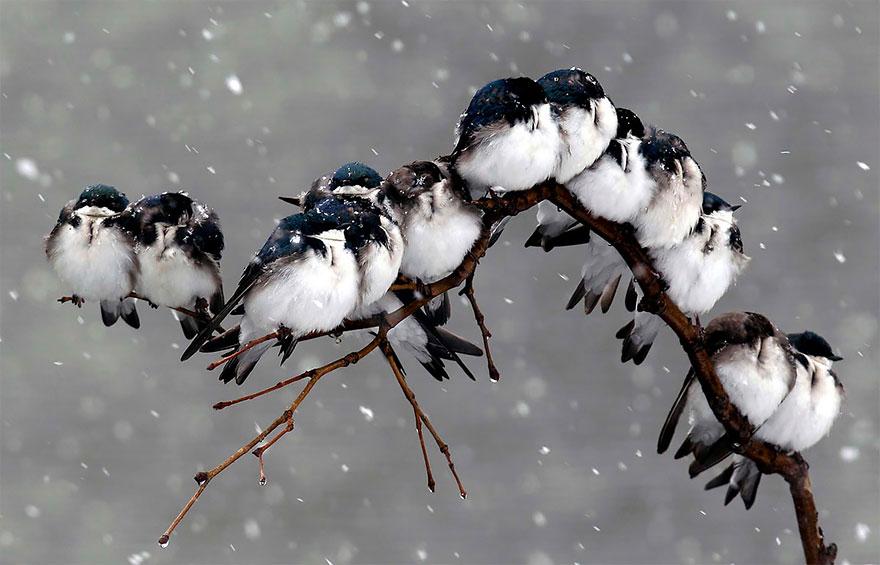 uccelli-stretti-insieme-cercano-calore-20