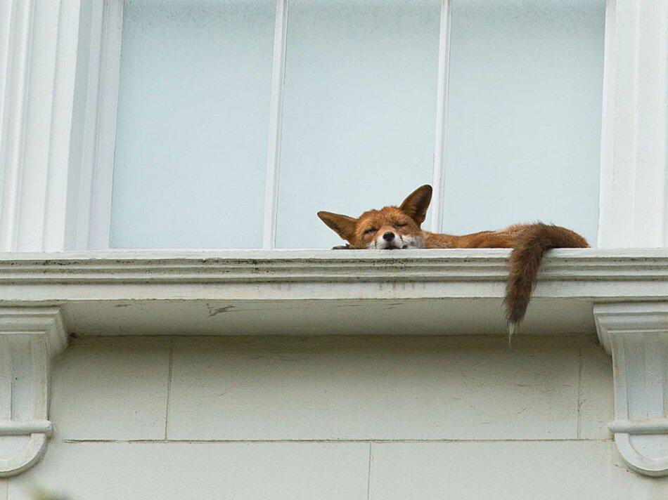 volpe-che-dorme-finestra-palazzo-londra-2
