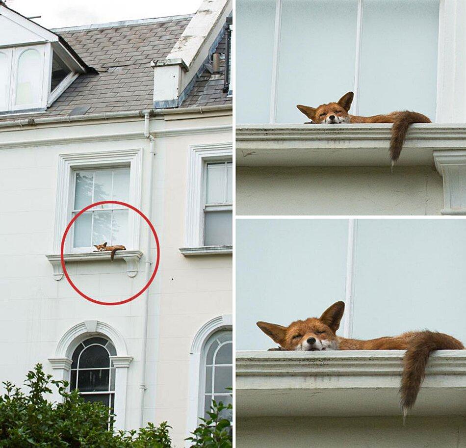 volpe-che-dorme-finestra-palazzo-londra-3