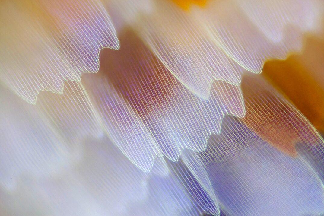 ali-farfalle-fotografia-macro-linden-gledhill-07