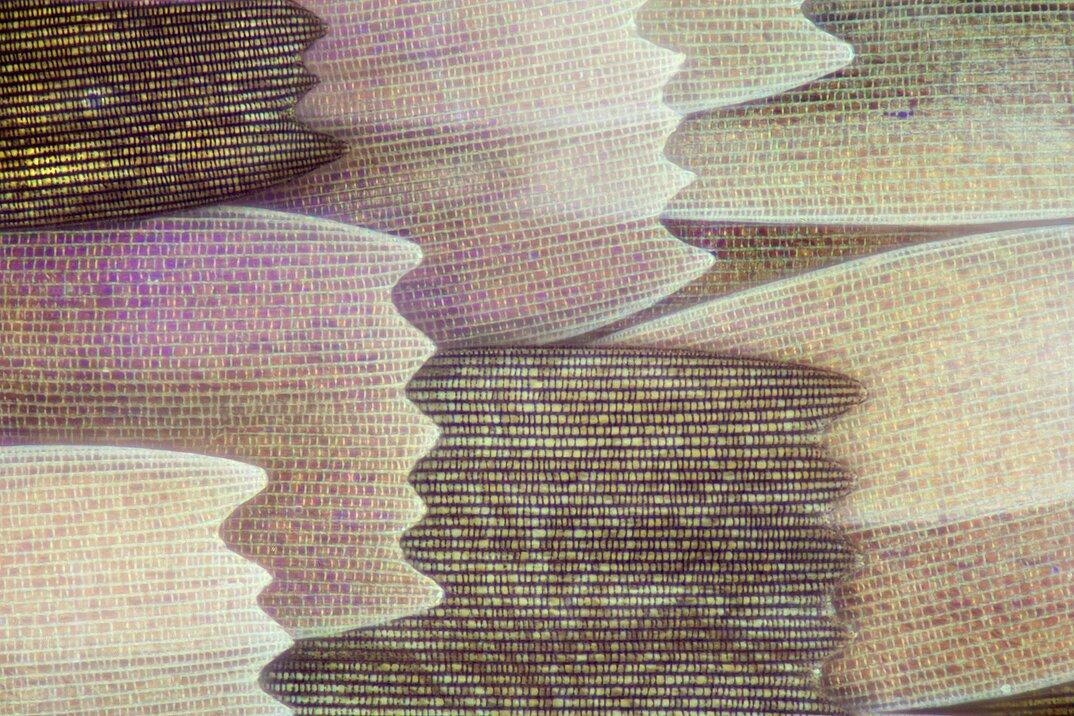 ali-farfalle-fotografia-macro-linden-gledhill-08