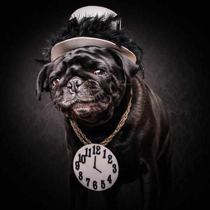 cani-carlini-vestiti-da-rapper-hip-hop-fotografia-adam-jackman-moore-1