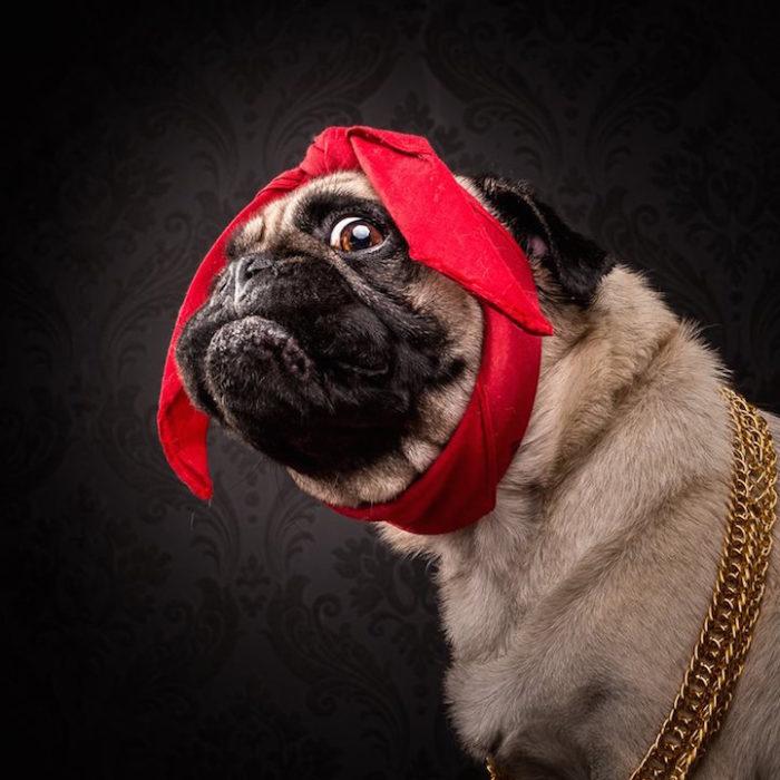 cani-carlini-vestiti-da-rapper-hip-hop-fotografia-adam-jackman-moore-5