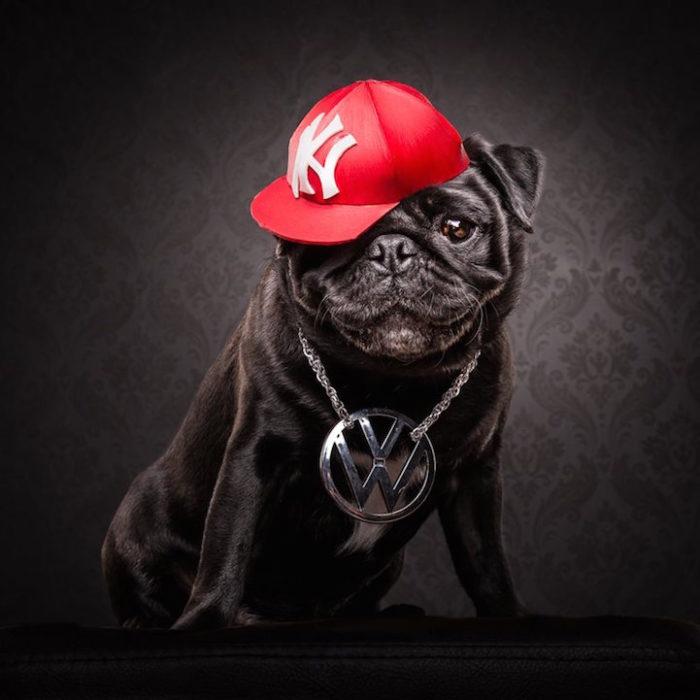 cani-carlini-vestiti-da-rapper-hip-hop-fotografia-adam-jackman-moore-6