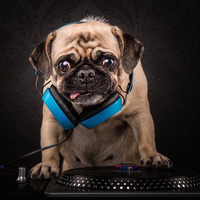 cani-carlini-vestiti-da-rapper-hip-hop-fotografia-adam-jackman-moore-7
