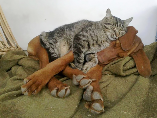 cani-e-gatti-che-vanno-in-accordo-32