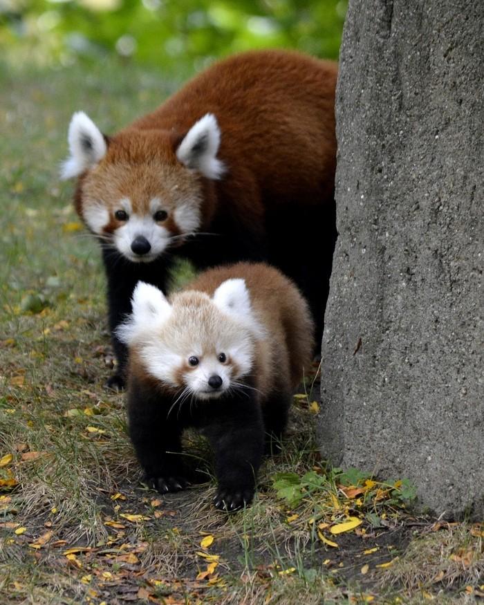 cucciolo-panda-rosso-zoo-detroit-1