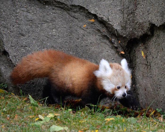 cucciolo-panda-rosso-zoo-detroit-2