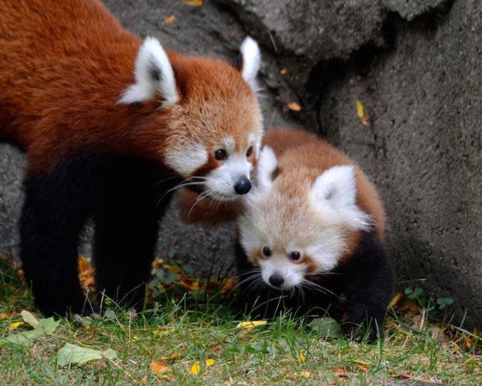 cucciolo-panda-rosso-zoo-detroit-3