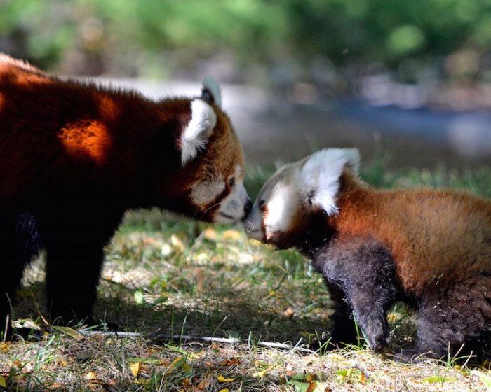 cucciolo-panda-rosso-zoo-detroit-4