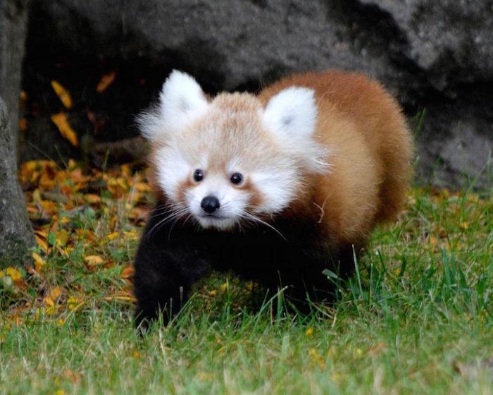 cucciolo-panda-rosso-zoo-detroit-5