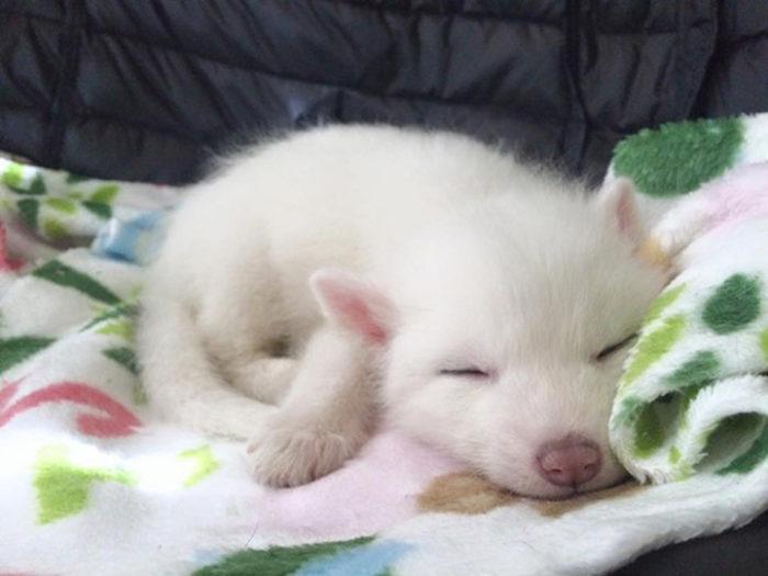 cucciolo-volpe-addomesticata-rylai-02