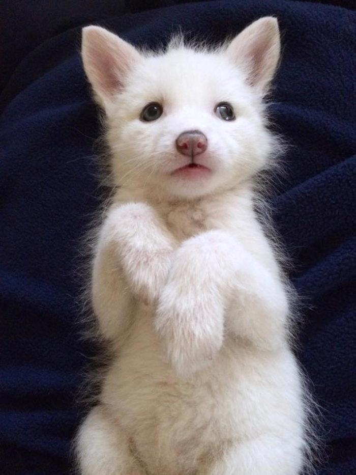 cucciolo-volpe-addomesticata-rylai-04