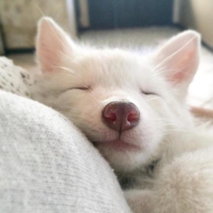 cucciolo-volpe-addomesticata-rylai-05
