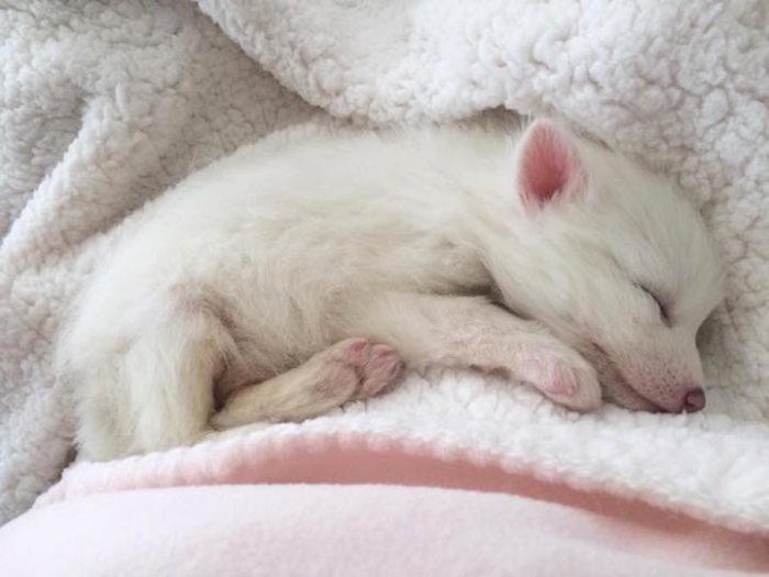 cucciolo-volpe-addomesticata-rylai-07