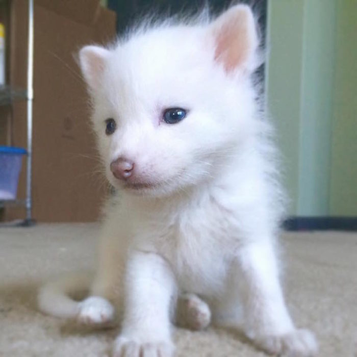 cucciolo-volpe-addomesticata-rylai-09