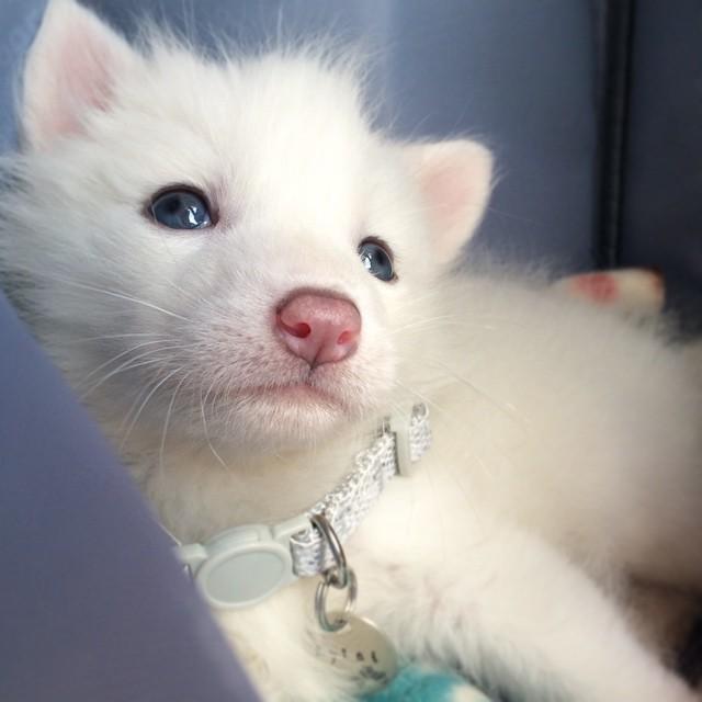 cucciolo-volpe-addomesticata-rylai-10
