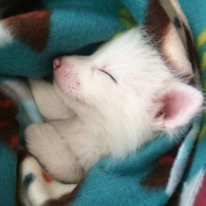 cucciolo-volpe-addomesticata-rylai-12