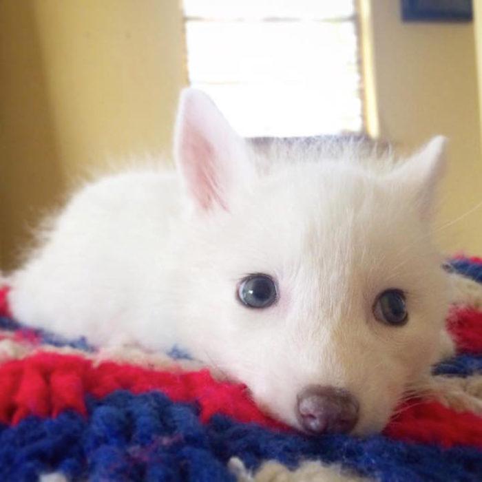 cucciolo-volpe-addomesticata-rylai-13