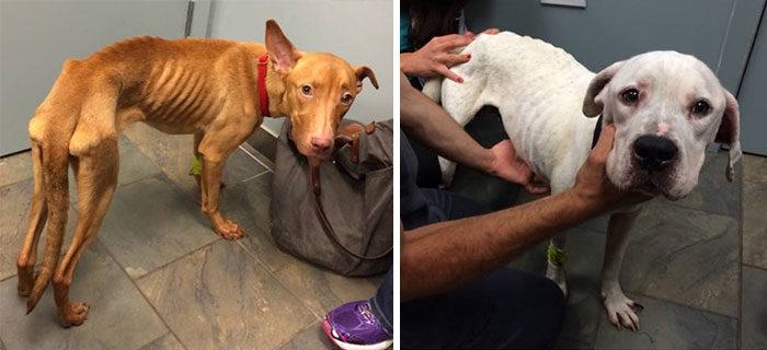 due-cani-affamati-scheletrici-soccorsi-trasformati-2
