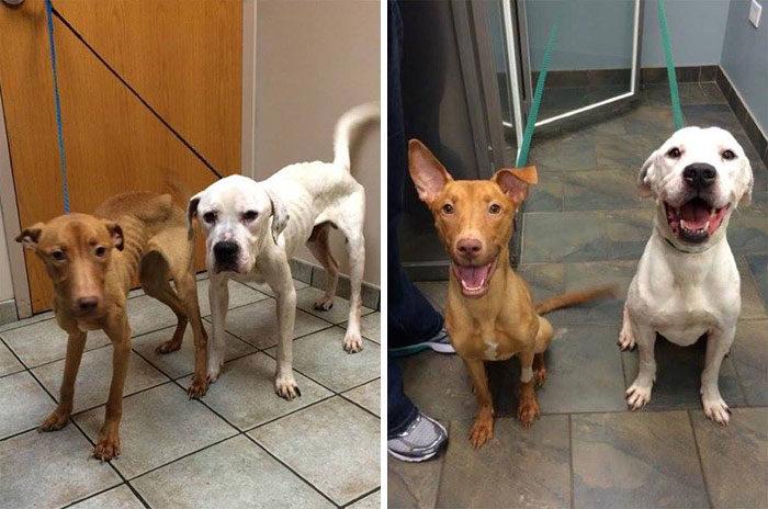 due-cani-affamati-scheletrici-soccorsi-trasformati-3