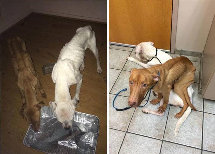 due-cani-affamati-scheletrici-soccorsi-trasformati-5