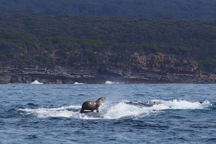 EXCL Seal takes a ride on a Humpback Whale 7.jpg