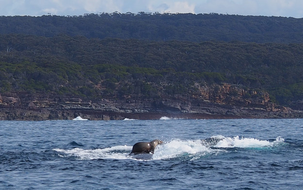 foca-fa-surf-a-cavallo-di-una-balena-2