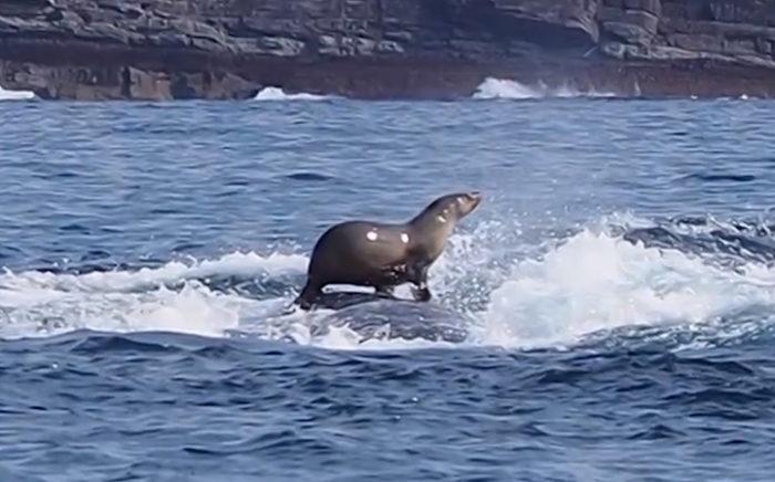 foca-fa-surf-a-cavallo-di-una-balena-3