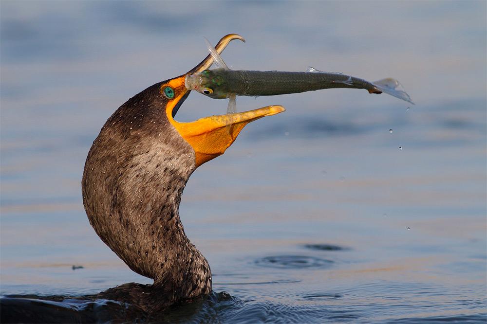 foto-tele-obiettivo-uccelli-mangiano-pesci-salah-baazizi-01
