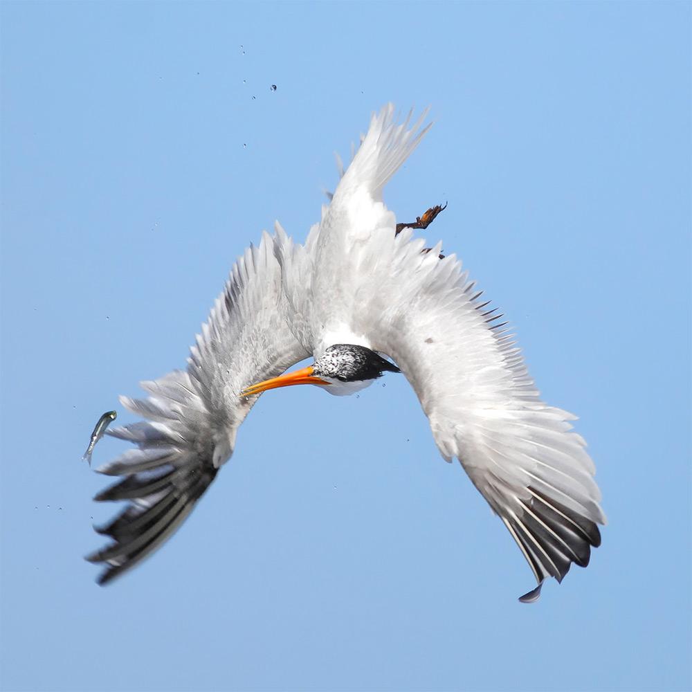 foto-tele-obiettivo-uccelli-mangiano-pesci-salah-baazizi-02