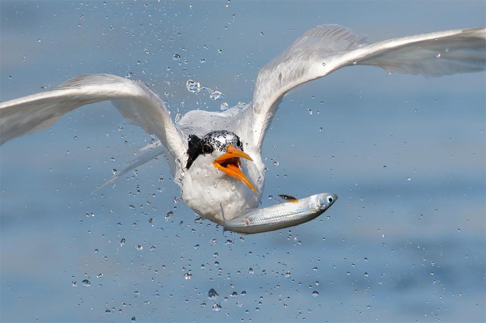 foto-tele-obiettivo-uccelli-mangiano-pesci-salah-baazizi-03