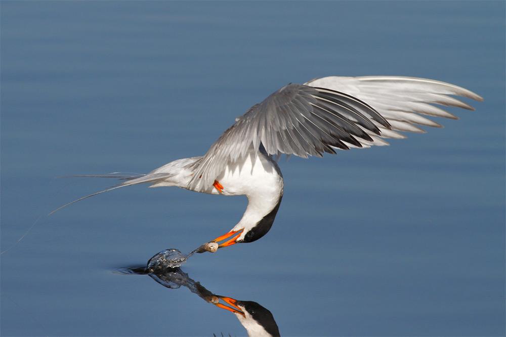 foto-tele-obiettivo-uccelli-mangiano-pesci-salah-baazizi-04