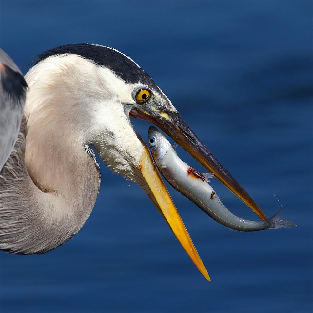 foto-tele-obiettivo-uccelli-mangiano-pesci-salah-baazizi-05