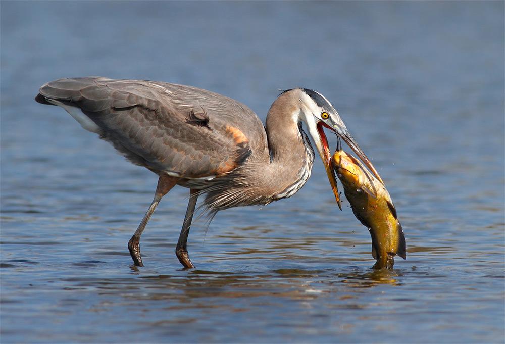 foto-tele-obiettivo-uccelli-mangiano-pesci-salah-baazizi-06
