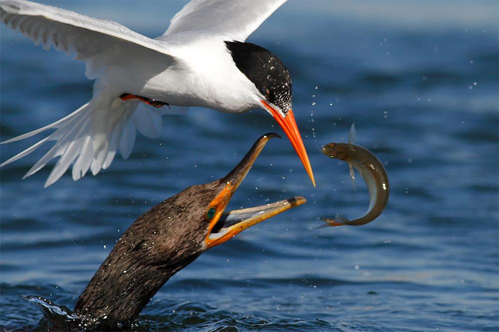 foto-tele-obiettivo-uccelli-mangiano-pesci-salah-baazizi-07
