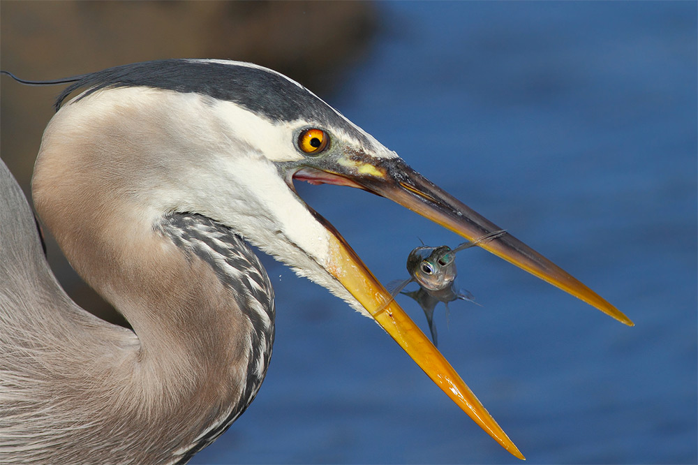 foto-tele-obiettivo-uccelli-mangiano-pesci-salah-baazizi-08
