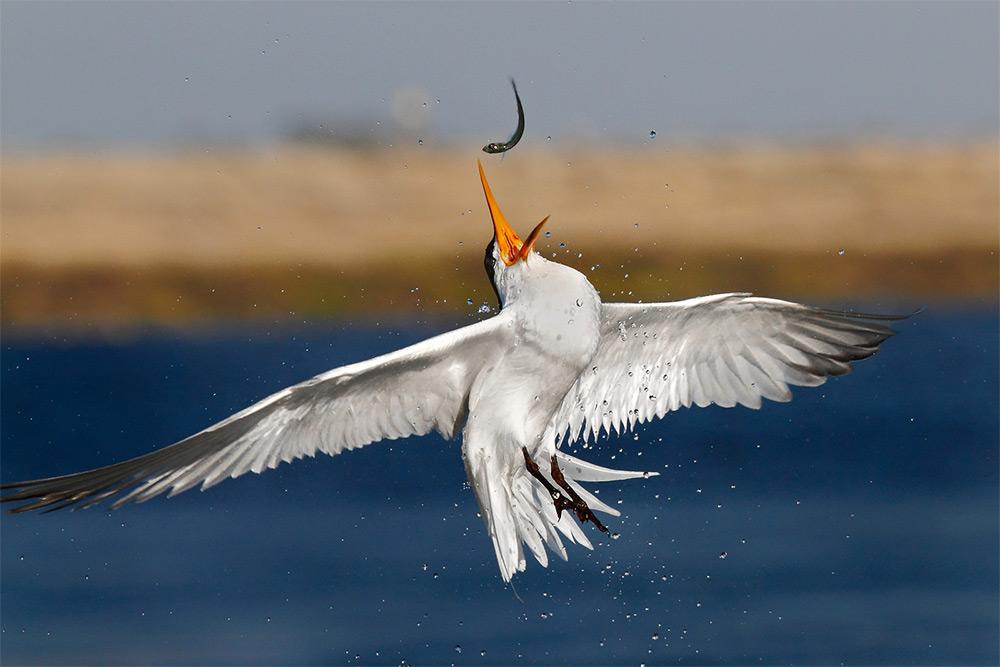 foto-tele-obiettivo-uccelli-mangiano-pesci-salah-baazizi-09