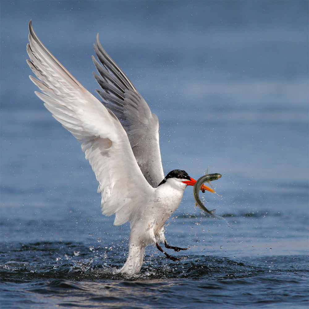 foto-tele-obiettivo-uccelli-mangiano-pesci-salah-baazizi-10