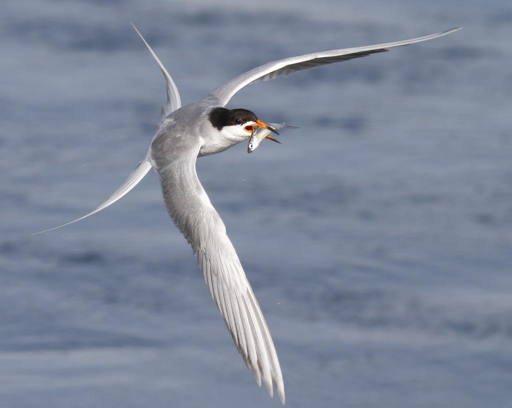 foto-tele-obiettivo-uccelli-mangiano-pesci-salah-baazizi-11