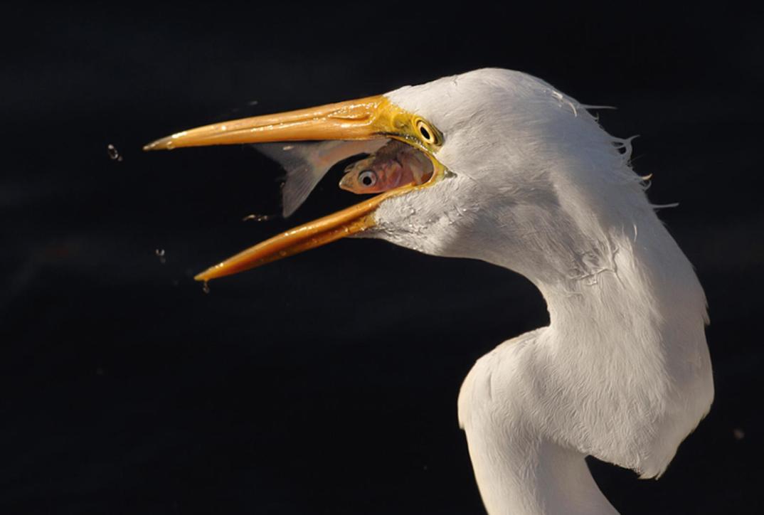 foto-tele-obiettivo-uccelli-mangiano-pesci-salah-baazizi-12