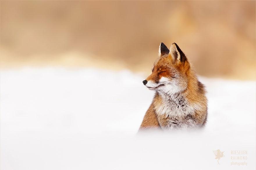 foto-volpi-selvatiche-roeselien-raimond-01