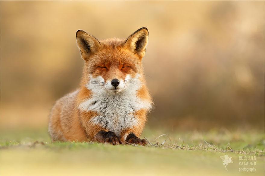 foto-volpi-selvatiche-roeselien-raimond-02