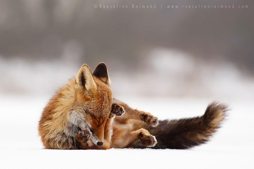 foto-volpi-selvatiche-roeselien-raimond-03