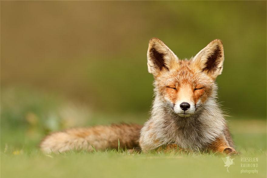 foto-volpi-selvatiche-roeselien-raimond-04